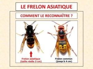 Le frelon asiatique, une physionomie différente du frelon européen