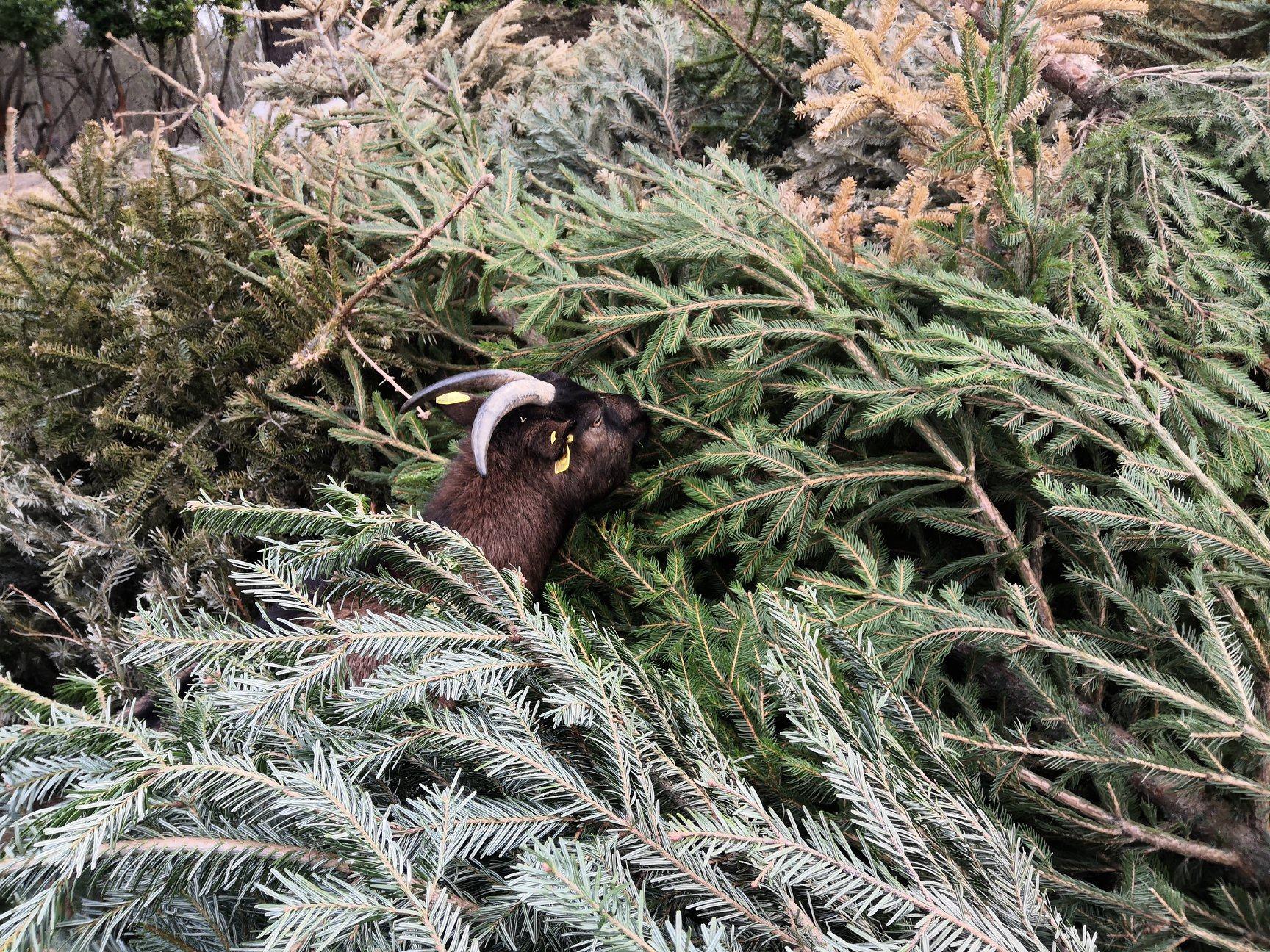 4 façons de recycler votre sapin de Noël
